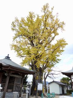 徳島県板野郡北島町 光福寺のイチョウ 2017