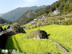 徳島県名西郡神山町 江田 菜の花の里 開花 2014