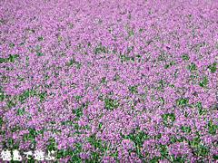 鳴門らっきょの花まつり