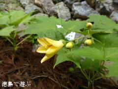 徳島県 神山町 岳人の森 2014年7月下旬 キレンゲショウマ