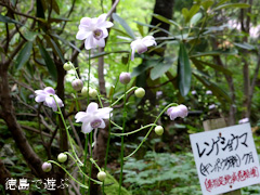 徳島県 神山町 岳人の森 レンゲショウマ 蓮華升麻 2014
