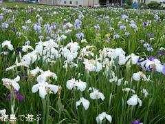 徳島県美馬市美馬町 寺町公園 花菖蒲園 2015