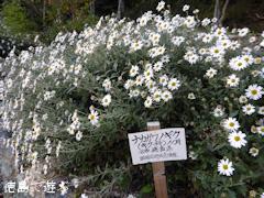 岳人の森 ナカガワノギク 那賀川野菊 2014
