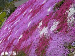 広棚の芝桜 2012