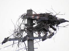 徳島県鳴門市大麻町 コウノトリ 電柱 巣 2015年9月24日