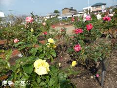 徳島県板野郡藍住町 秋のバラ祭り 2014