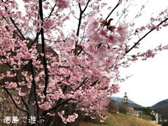 徳島県鳴門市大麻町 道の駅 第九の里 周辺 蜂須賀桜 2017