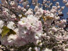 徳島県板野郡上板町 岡田製糖所 八重桜 2018
