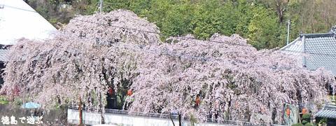明王寺 しだれ桜