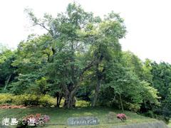吉良のエドヒガン桜 新緑