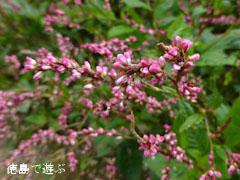 藍の花 インジゴ 2012