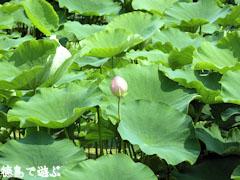 大津町 蓮の花