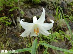 出羽 白色 ササユリ 2011