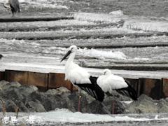 徳島県 吉野川 吉野川第十堰 コウノトリ 鸛 2015年11月18日