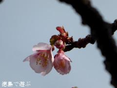 徳島県徳島市 両国橋東公園 寒桜 2015