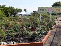 藍住 秋のバラ祭り 2013