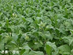 葉たばこ畑 花 2012