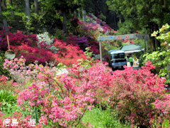 徳島県名西郡神山町 上分花の隠里 ツツジ 2015