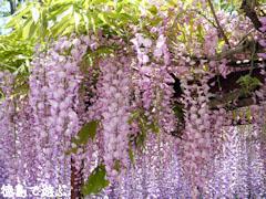 童学寺 藤の花