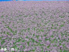 徳島県鳴門市 大毛島 らっきょう 鳴門らっきょ 花 2017