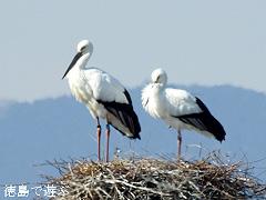 徳島県鳴門市 コウノトリ 市の鳥 指定 2018