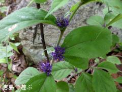 徳島県 神山町 岳人の森  2014年7月下旬 スズカケソウ