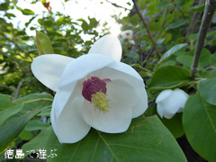 徳島県名西郡神山町 四国山岳植物園 岳人の森 オオヤマレンゲ 2015