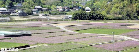 鬼籠野 レンゲ畑