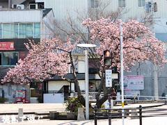 両国橋東公園 寒桜 カンザクラ