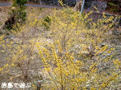 神山町上分 ロウバイ園 2012