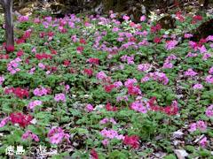 四国山岳植物園 岳人の森 シコクカッコソウ 2013