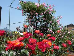 徳島県板野郡藍住町 藍住町バラ園 春のバラ祭り 2016