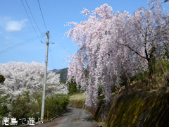 徳島県美馬郡つるぎ町貞光 吉良 しだれ桜 2015