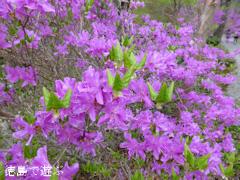 徳島県名西郡神山町 四国山岳植物園 岳人の森 ミツバツツジ 2014