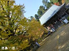 大山寺 イチョウ 紅葉 2012