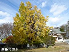 徳島県名西郡石井町 矢神のイチョウ 2016