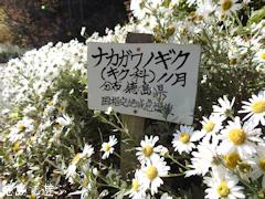 徳島県 神山町 岳人の森 ナカガワノギク 那賀川野菊 2016