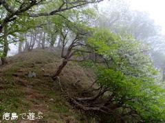 南高城山 シロヤシオ ゴヨウツツジ 2013