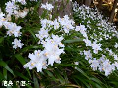 徳島県名西郡神山町 上分花の隠里 シャガ 2014
