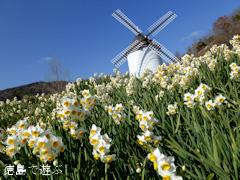 あすたむらんど徳島 風車の丘 スイセン 水仙 2014