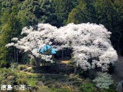 岡見堂 エドヒガン桜 2011