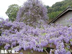 神光寺 のぼり藤