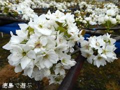 徳島県鳴門市 梨の花 2016
