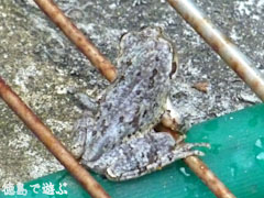 カエル 蛙