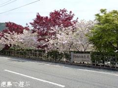 岡田製糖所 八重桜 2011