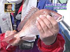 幻の鯛 鳴門の鯛