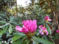 四国山岳植物園 岳人の森 シャクナゲ 2013