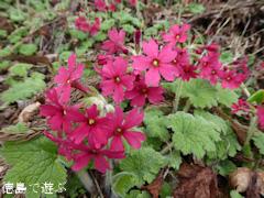 徳島県名西郡神山町 四国山岳植物園 岳人の森 シコクカッコソウ 2016