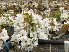徳島県鳴門市 梨の花 2018
