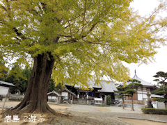 徳島県板野郡板野町羅漢 地蔵寺のイチョウ 2015